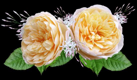 Лучшие сорта роз Остина ТОП 2020