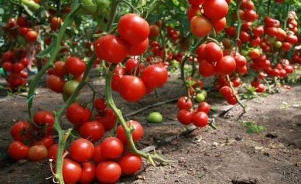 Лучшие сорта низкорослых томатов ТОП 2020