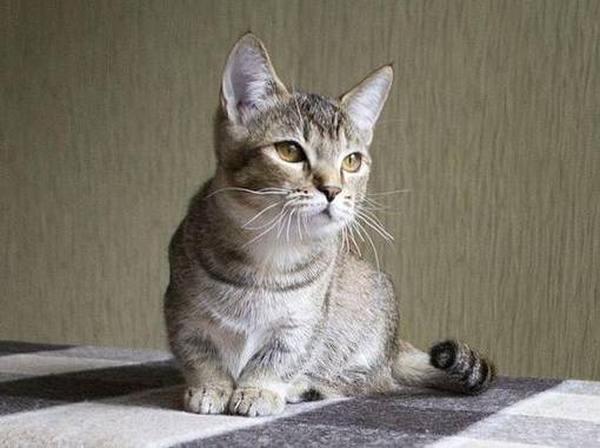 Лучшие породы карликовых кошек фото