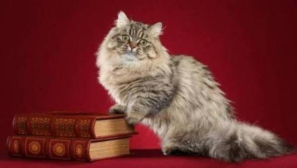 Рейтинг лучших пород карликовых кошек