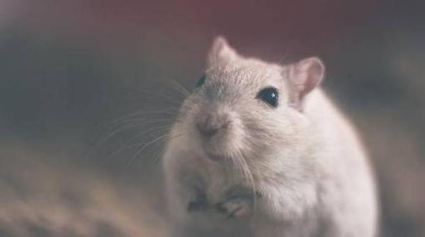 Лучшие корма для крыс