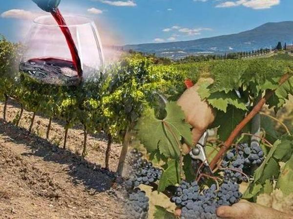 Лучшие винные сорта винограда ТОП 2020